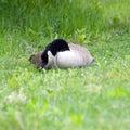 Peaceful Goose Stock Photos