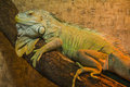 Peaceful Iguana Royalty Free Stock Photo
