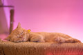 Peaceful orange red tabby cat male kitten curled up sleeping. Royalty Free Stock Photo