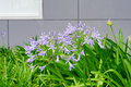 Peaceful purple flower in front of a building Royalty Free Stock Photo