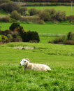 Peaceful sheep sitting in an open field Stock Photo