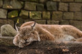 Peaceful sleeping lynx a on a a large branch Stock Photo