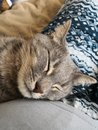 Peaceful sleepy gray cat
