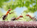 Peacemaker ant tales fighting ants and Royalty Free Stock Images