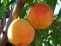 The peach Stock Image