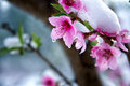 Peach bloosom close up of a branch of blossom with water drops and white snow Stock Image