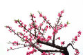 Peach blossom it is a beautiful white background Royalty Free Stock Images