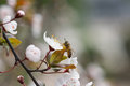 Peach blossom and bee Stock Photography