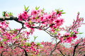 Peach blossom of blooming Stock Image