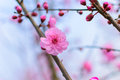 Peach blossom details view of in spring Royalty Free Stock Image