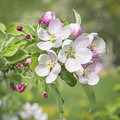 Peach blossom flowers in spring Stock Images