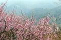 Broskyňa kvet v oblasť
