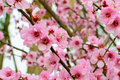 Peach blossom red in the outdoor Royalty Free Stock Photo