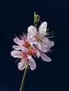Peach blossom a sprig of on blue Stock Photo