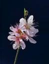 Peach blossom a sprig of on blue Stock Photo