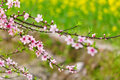 Peach blossom in the spring field Royalty Free Stock Photo