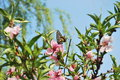Peach blossom and swallowtail in the garden sunny day many Royalty Free Stock Images