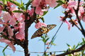 Peach blossom and swallowtail in the garden sunny day many Royalty Free Stock Image