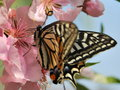 Peach blossom and swallowtail in the garden sunny day many Stock Photography