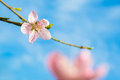 Peach blossom under blue sky blossoms with water droplets Stock Photo