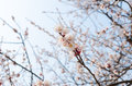 Peach blossom under clear skies the Stock Photography