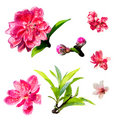 Peach blossom with white background Royalty Free Stock Image