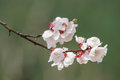 Peach blossom white reflected on a green background Stock Images