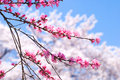 Peach blossoms Royalty Free Stock Photos