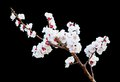 Peach blossoms on the black background cerulean Stock Image