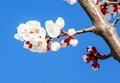 Peach blossoms on the cerulean background Royalty Free Stock Photo