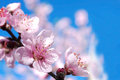 Peach blossoms flower closeup of in spring orchard Royalty Free Stock Photo