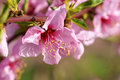 Peach blossoms some on the branch during spring blooming Royalty Free Stock Photos
