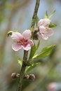 Peach blossoms in spring in india Royalty Free Stock Photos