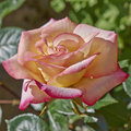 Peach colored wet rose Royalty Free Stock Photo