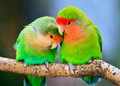 Peach-faced lovebird couple Royalty Free Stock Photography