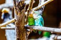 Peach faced lovebirds parrots siting on wooden perch in zoo Stock Photo