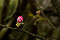 Peach flower bud beautiful blossom from a farm announcing spring Royalty Free Stock Photos
