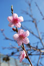 Peach flowers Stock Photography
