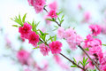 The peach flowers closeup shot in the spring Royalty Free Stock Photography
