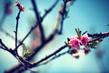 Peach flowers in the spring .Soft image of a blossoming apple tr Royalty Free Stock Photo