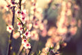 Peach flowers in the spring .Soft image of a blossoming peach tr Royalty Free Stock Photo
