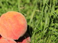 Peach fresh perfect shaped on grass background Royalty Free Stock Images