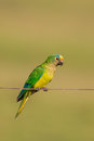 Peach fronted Parakeet perched on a wire Royalty Free Stock Photo