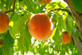 Peach fruit closeup on a branch of tree ripe in middle green leaves Royalty Free Stock Photography