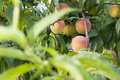 Peach fruit in the garden Royalty Free Stock Photo