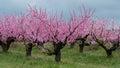 Peach garden Royalty Free Stock Photo