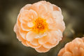 Peach Garden Rose Royalty Free Stock Photo