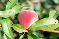 Peach garden. Summer garden fruits. Ripe peaches on the tree. The harvest of peaches. Red peaches in the garden on a sunny day. Br Royalty Free Stock Photo