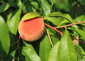Peach with Green Leaves Royalty Free Stock Photo