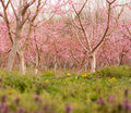Peach orchard in bloom an of trees covered pink flowers Stock Image